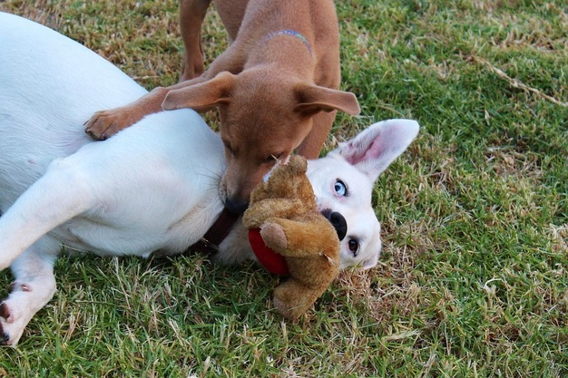 Do Dogs Like Stuffed Animals?   Plush Dog Toys Full Guide