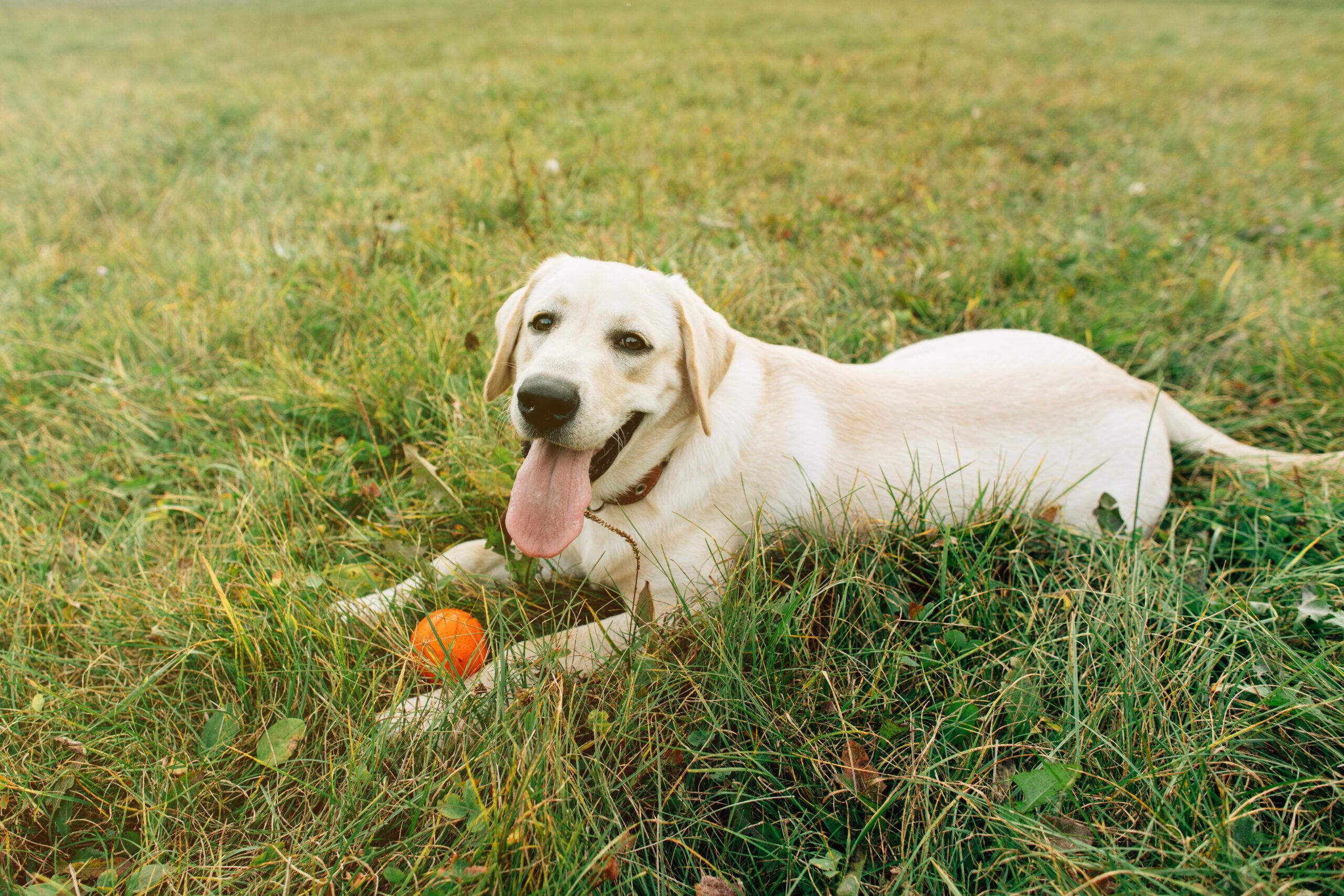 Who Are Labrador Retrievers