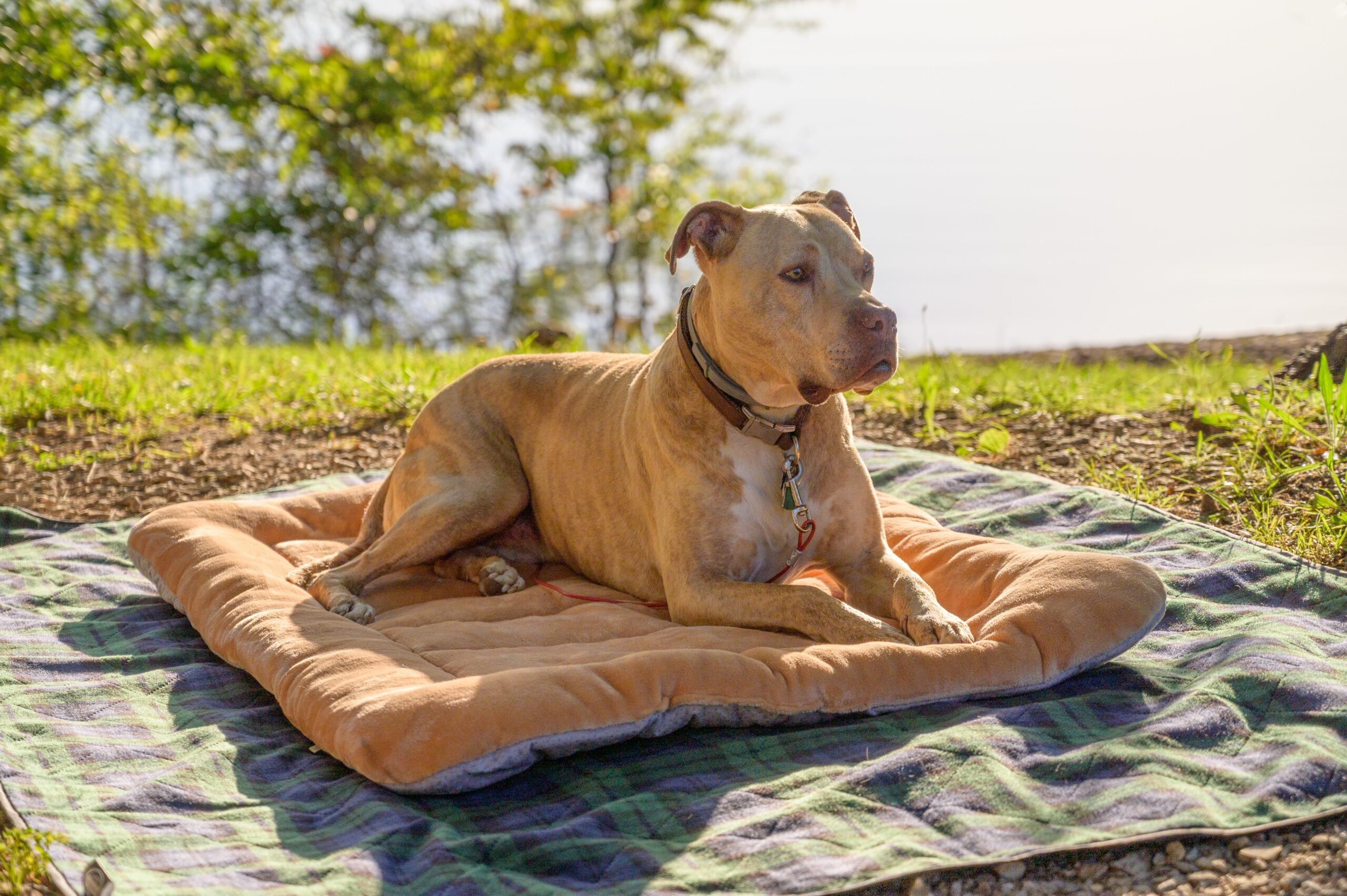 8 Best Dog Toys For Pit Bulls [2021] : Durable For Chewers