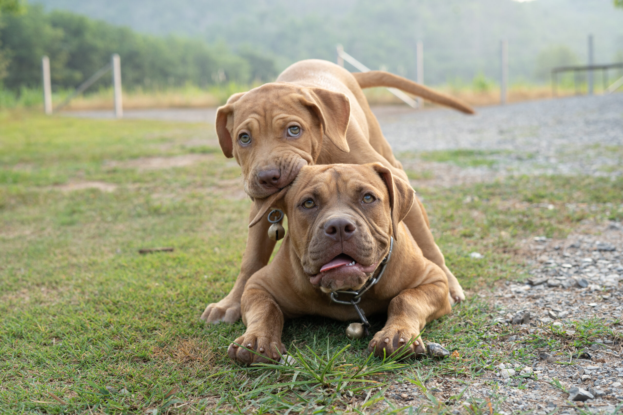 buying guide for pitbulls toys
