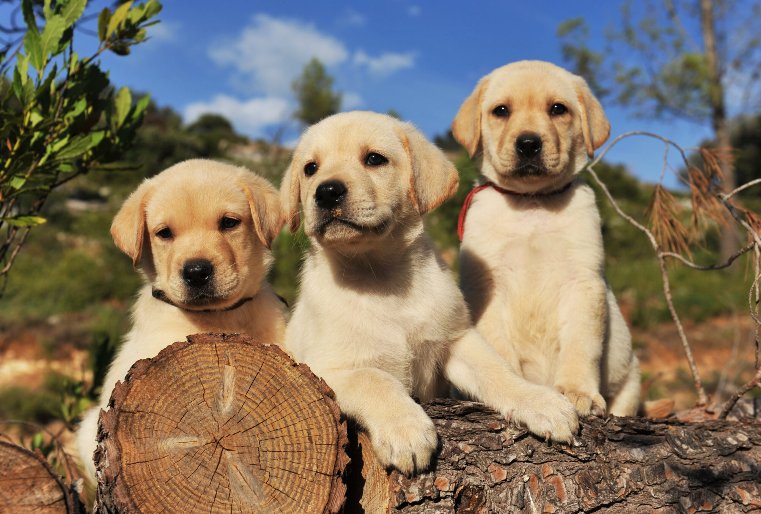Best Toys For Lab Puppies Of 2021 [Labrador Retrievers dog]