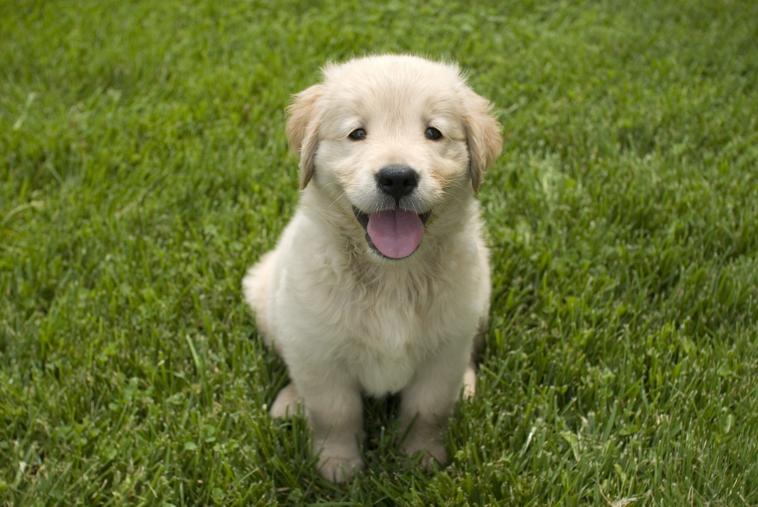 Buying Guide for Golden Retriever Toys