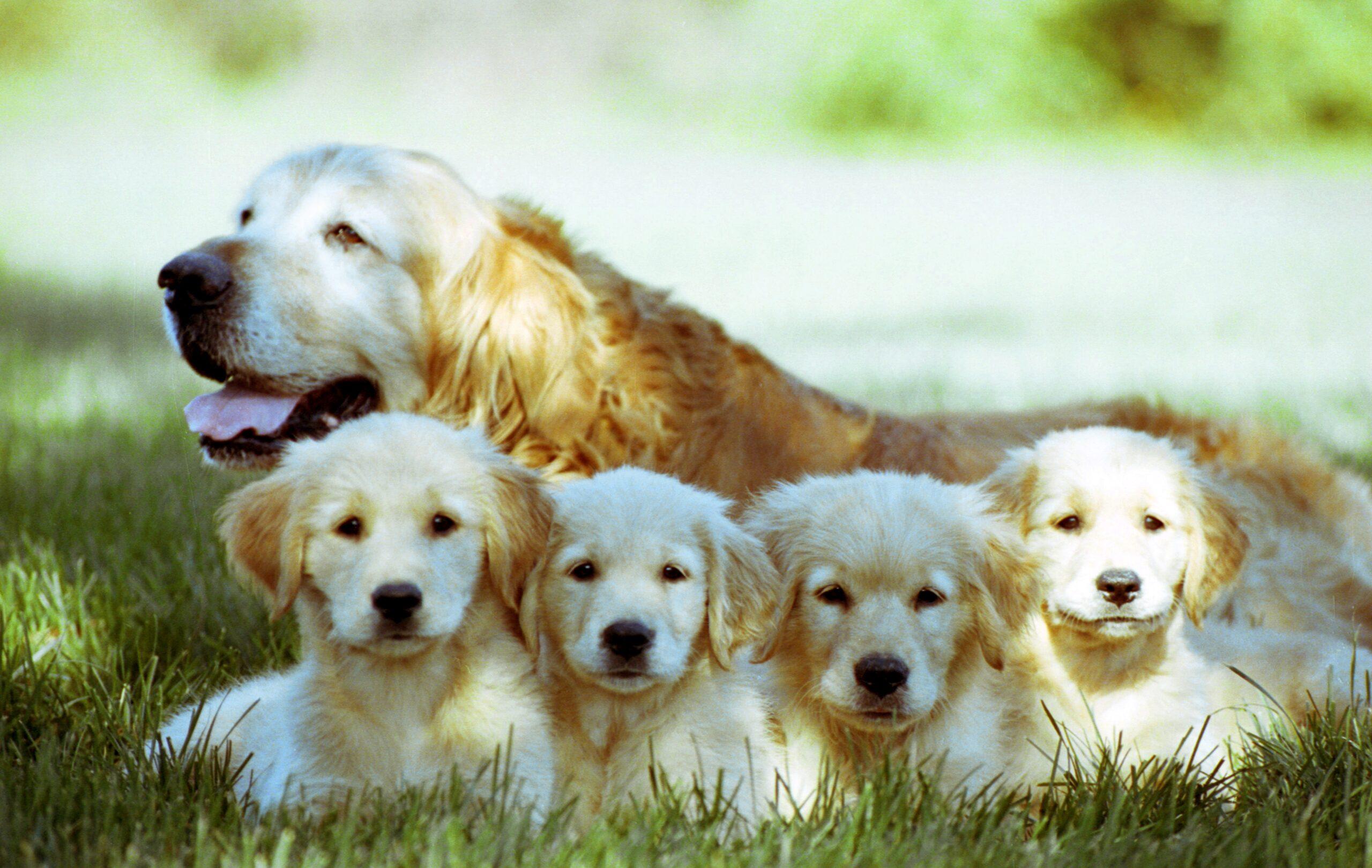 Top 8 Best Toys For Golden Retriever Puppies [2021] Funadog
