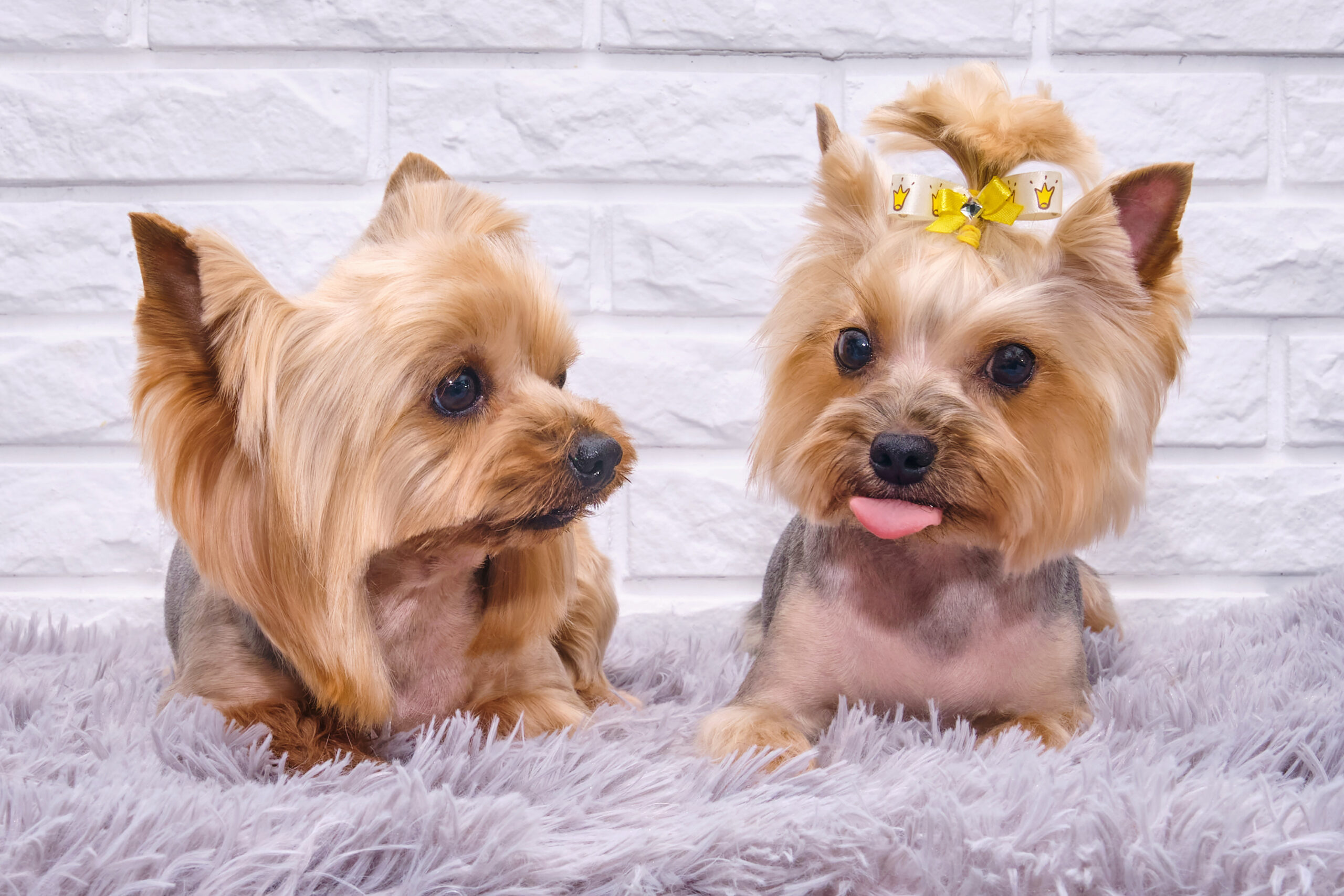 Best Toys For Yorkies Puppies [2021] Yorkshire Terriers Toy