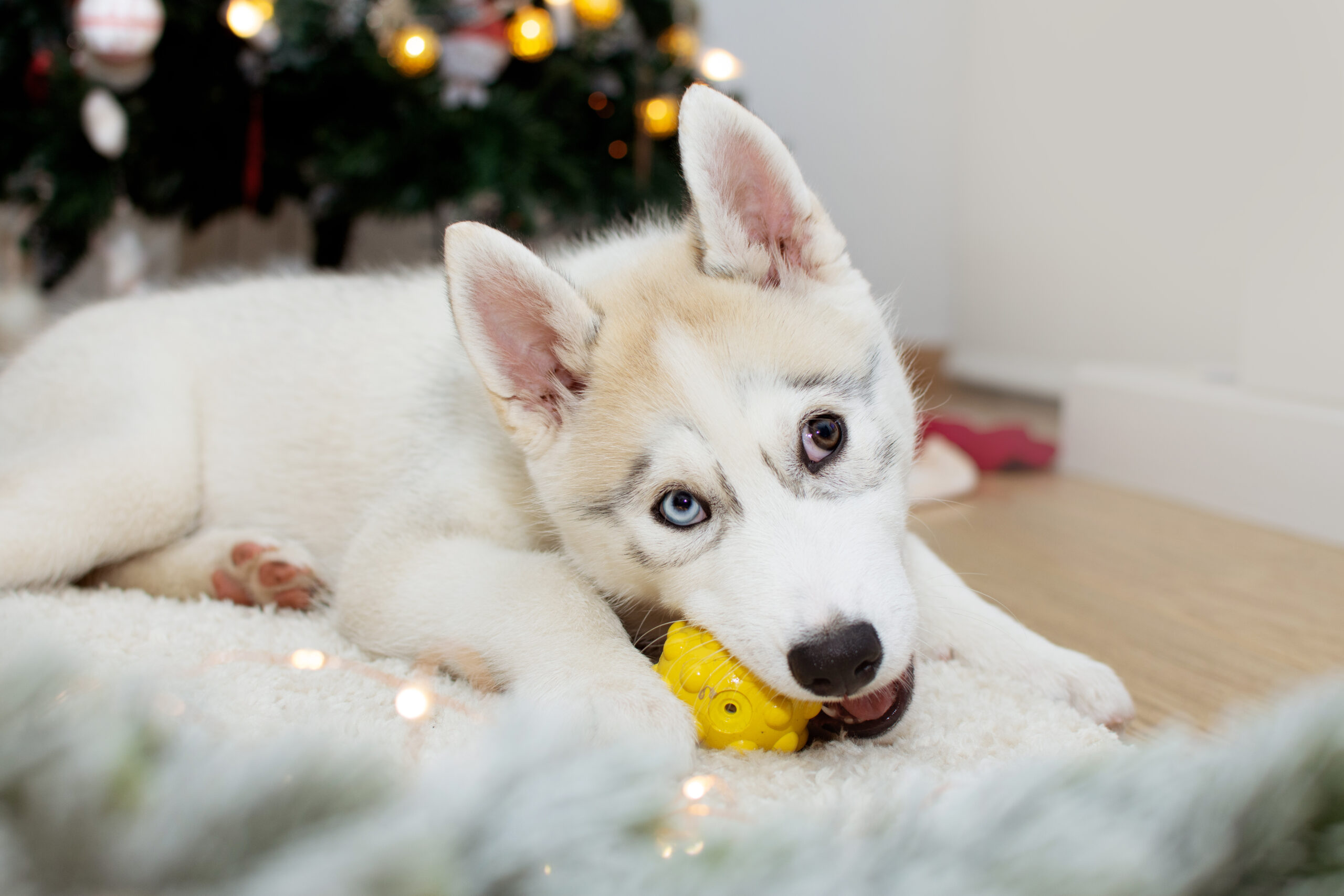 Buying Guide For Serbian Huskies Toys