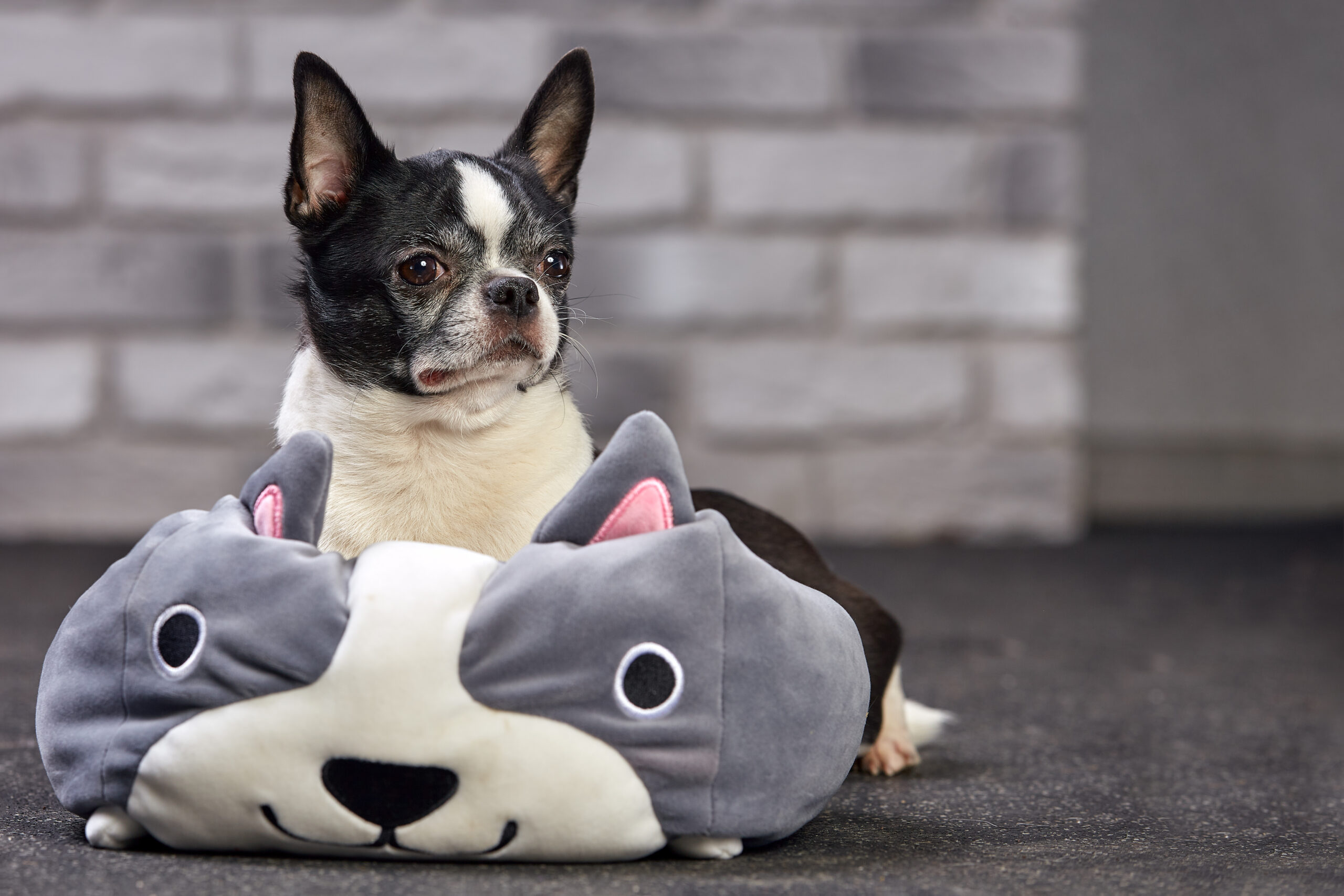 The Best Types of Toys for Chihuahuas